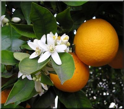 Eau Florale Bio Fleur D Oranger Tunisie Producteur Recherche De