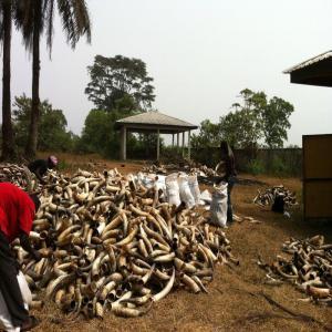 corne de vache et peau de vache sal vendre 1000000 cameroun producteur recherche de. Black Bedroom Furniture Sets. Home Design Ideas