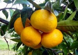 vente Agrumes ,Cl�mentines ,Myagawa Navels,oranges, Cit