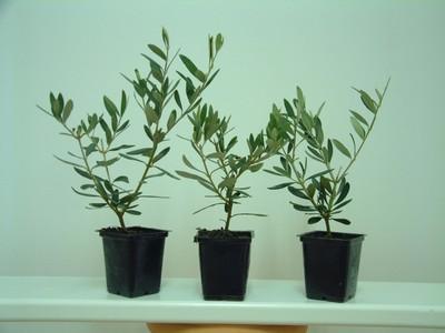 plants d 39 oliviers algerie alg rie recherche de client. Black Bedroom Furniture Sets. Home Design Ideas