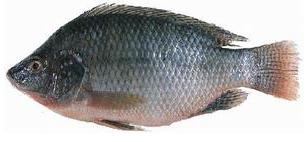 Vente de poissons 1 tonne par jour c te d ivoire for Vente de poisson